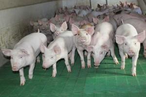 Spada eksport unijnej wieprzowiny