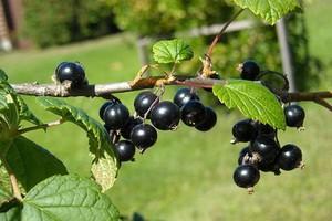 Polscy plantatorzy czarnej porzeczki dokładają do biznesu
