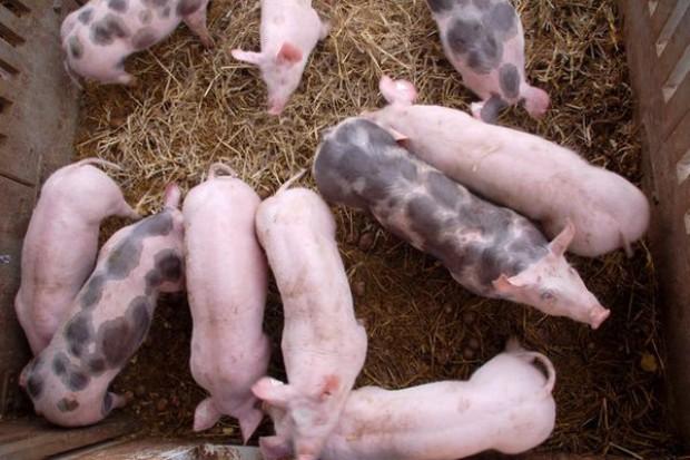 Nikt nie gwarantuje podwyżek na cenach wieprzowiny