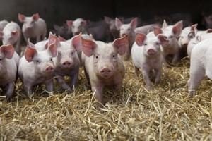 Producenci mięsa boją się zakazu eksportu do Rosji