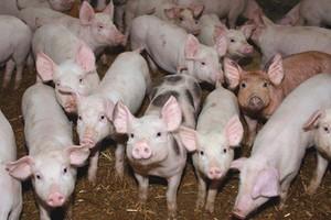Spadek pogłowia świń nieco wyhamował
