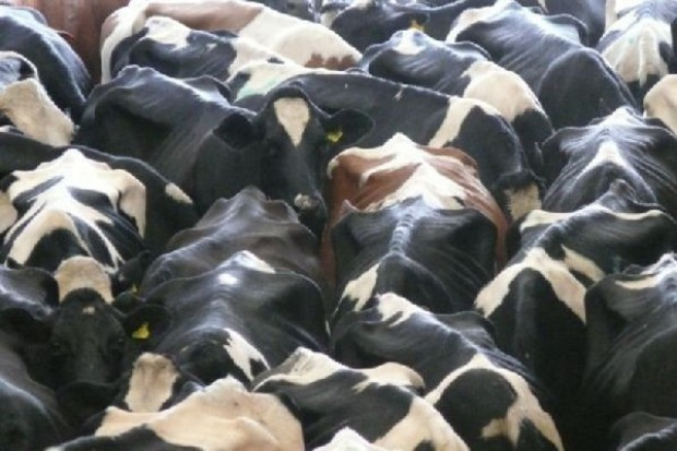 Dalsza redukcja pogłowia krów mlecznych w Polsce