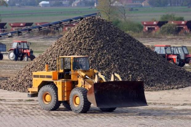 IERiGŻ: Areał uprawy buraków cukrowych o ponad 4 proc. niższy