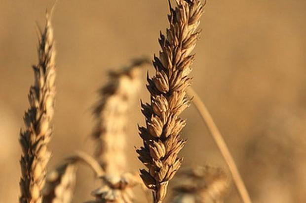 GUS: W 2013 zbiory zbóż mniejsze niż przed rokiem