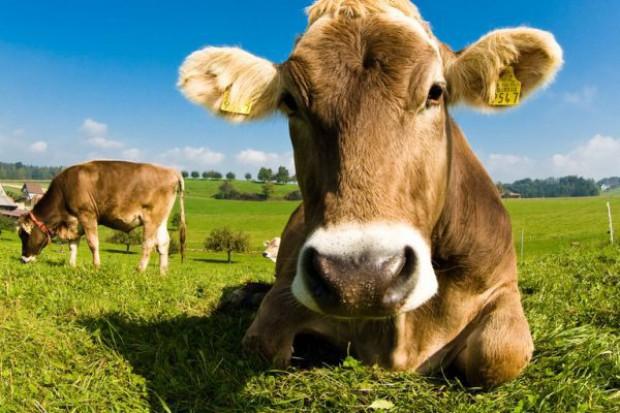 Prawie 4 proc. spadek produkcji bydła w UE