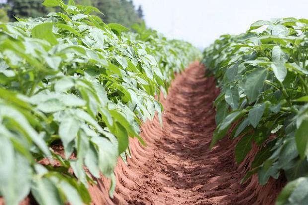 Zbiory ziemniaków mogą spaść o 30 proc.