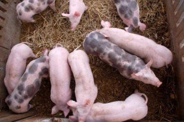 Kraje UE dostosowują się do niemieckich cenników wieprzowiny