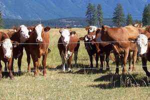 Pini Polonia utworzy Pini Beef. Firma wchodzi w biznes wołowy