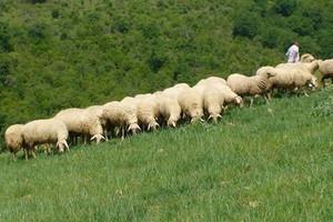 Rośnie import mięsa owczego i koziego