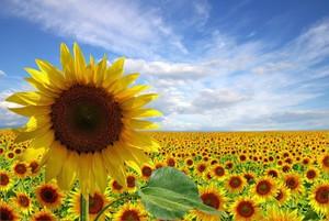Oil World tnie prognozy światowych zbiorów słonecznika