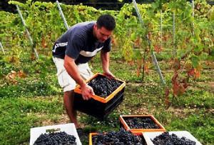 Podkarpackie winnice obrodziły