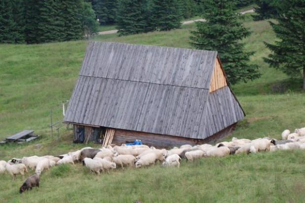 Ponad 220 owiec padło łupem wilków
