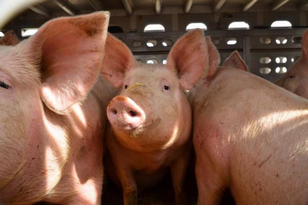 W Polsce spada cena skupu żywca wieprzowego i drobiu