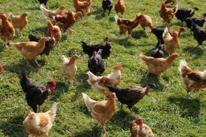 KRD: Opłacalność produkcji drobiu większa niż przed rokiem