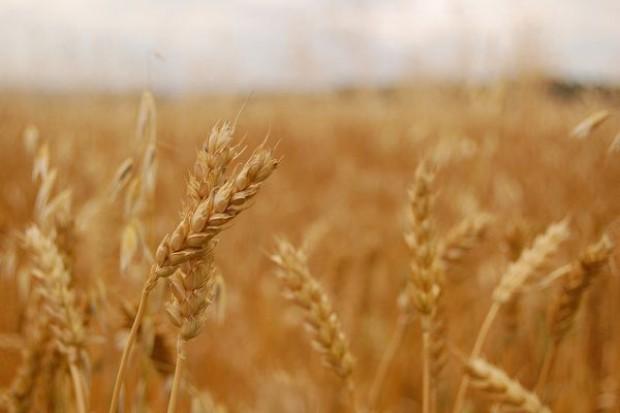 Eksport zbóż w trzecim kwartale wzrósł o 14 proc.