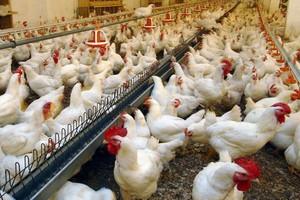 W Unii Europejskiej rośnie produkcja mięsa drobiowego