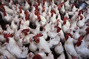 Na rynku zabraknie mięsa z kurczaków?