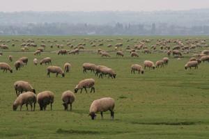 Francuska jagnięcina w unijnych rejestrach