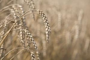 Poprawa bilansu zbóż na świecie