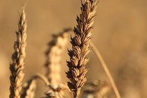 Ceny zbóż nie powrócą do poziomów z ubiegłych sezonów?