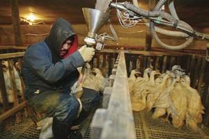 Ukraińskie foie gras podbije UE?