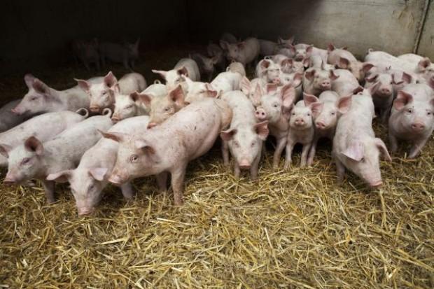 Trudny początek roku dla producentów świń
