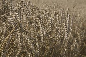 Duże zróżnicowanie regionalne zbiorów zbóż w 2013 r.