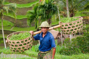 Wzrost produkcji ryżu w UE nieco przyspieszy