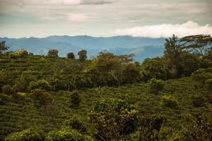 Upały w Brazyli mogą zagrozić uprawom kawy i pomarańczy