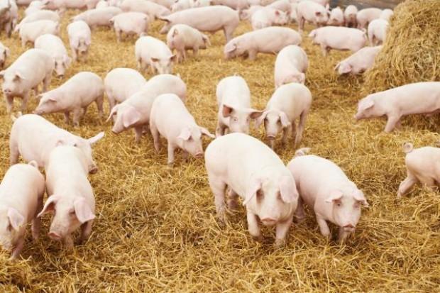 Import wieprzowiny z UE do Rosji nie wcześniej niż za dwa miesiące