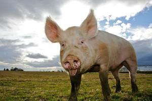 PKM Duda ogranicza skup żywca wieprzowego