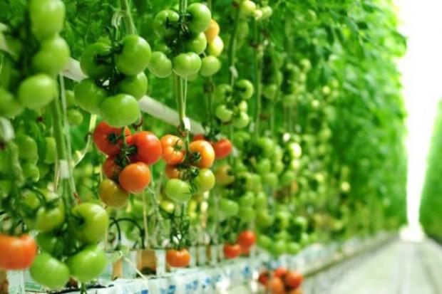 Citronex zainwestuje 60 mln zł w uprawę pomidorów