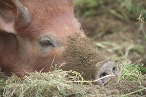 Dwa padłe dziki paraliżują polską gospodarkę