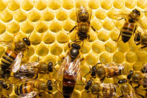 Najwięcej pszczół ginie na północy Europy