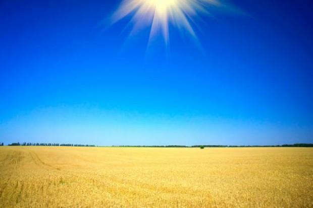 Susza zagraża wielu uprawom pszenicy w UE