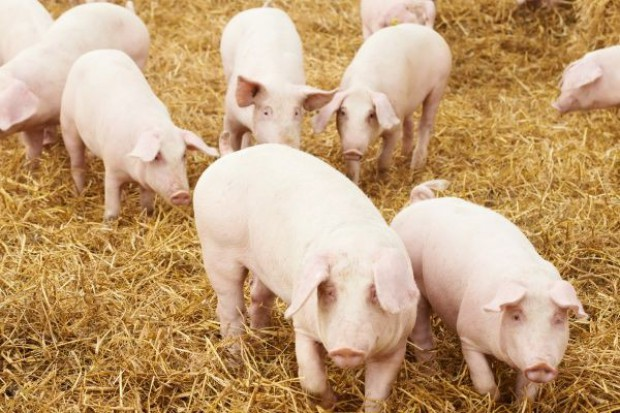 Producenci wieprzowiny nie liczą na szybki efekt zaskarżenia embarga