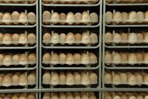W 2013 roku w Polsce wyprodukowano 10 mld jaj