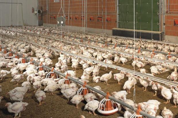 Polska stała się trzecim eksporterem mięsa drobiowego na rynki pozaunijne