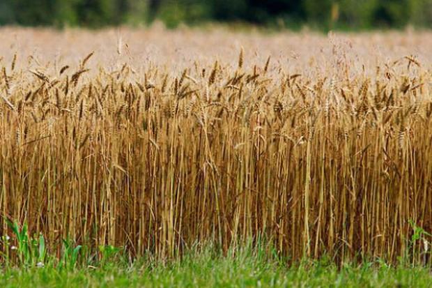 UE zużywa więcej pszenicy na paszę niż na cele żywnościowe