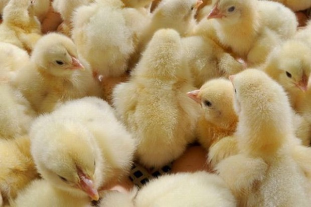 Światowa produkcja drobiu większa niż wieprzowiny