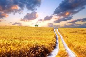 Afryka stała się najważniejszym odbiorcą polskiej pszenicy