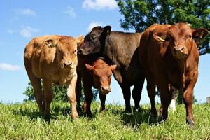 Spadek cen bydła w Brazylii