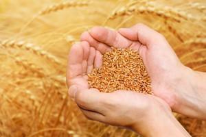 Ceny pszenicy - podsumowanie sezonu 2013/14