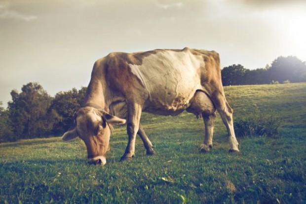 Ceny skupu bydła coraz niższe