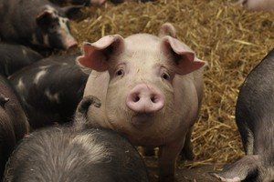 Jest decyzja o utylizacji świń i zakazie hodowli w pobliżu wykrycia ASF