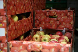 Rosja zatrzymała transport 300 ton jabłek z Polski