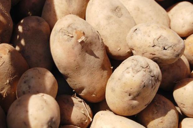 Producenci ziemniaków zaniepokojeni niskimi cenami