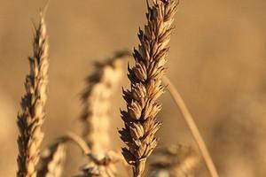 Kolejny sezon rekordowych zbiorów zbóż
