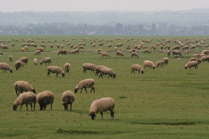 Spada eksport jagnięciny z Nowej Zelandii