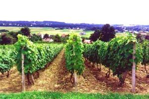 W woj. Podkarpackim opóźnione winobranie; będą słabsze zbiory